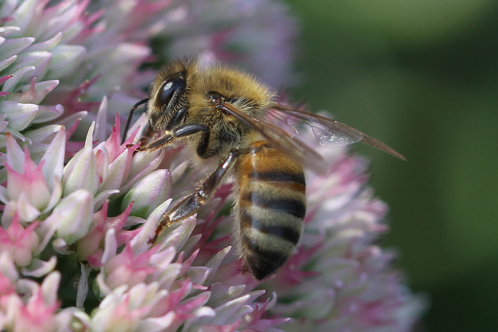 Las abejas mastican plástico y lo usan para construir sus colmenas